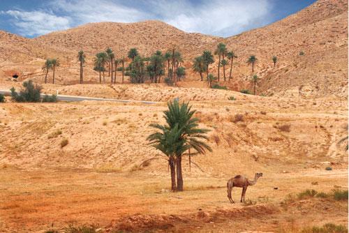 tunez-dromedario