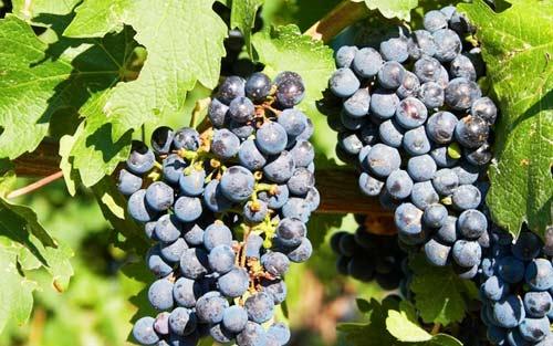 Uvas de Tunez